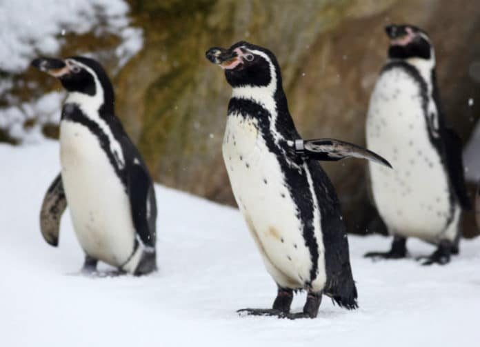 Penguin Adoptions